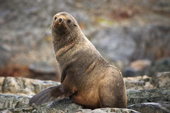 The brown seal. Has a rest on stones in Antarctica Stock Images