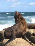 A brown seal enjoying the sun on the rocks. stock images