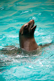 Brown Seal Swimming Playfully. A brown seal sticks its head out of the water Stock Photo