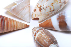 Brown Seashells. A photo taken on some brown seashells against a white backdrop stock images