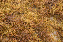 Brown seaweed on the beach Stock Images