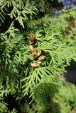 Brown seed cones of Thuja occidentalis. Among leaves Stock Images