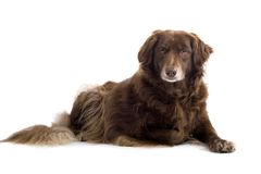 Brown Setter Royalty Free Stock Photo