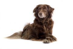 Brown setter Stock Image