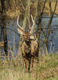 Brown shaggy deer are standing on the green gras Royalty Free Stock Photography