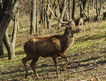 Brown shaggy deer are standing on the green gras Royalty Free Stock Photos