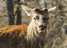Brown shaggy deer are standing on the green gras Stock Photos