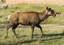 Brown shaggy deer are standing on the green gras Stock Images