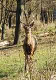 Brown shaggy deer are standing on the green gras Royalty Free Stock Photo