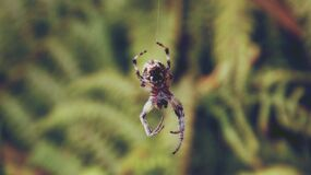 Brown Shamrock Spider Stock Image