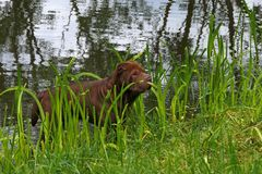 Brown shar-pei. Brown chinese shar-pei in the water stock photography