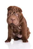 Brown shar pei puppy Royalty Free Stock Photos