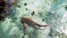 Brown shark with small fishes during a bright sunny day. Small brown shark surrounded by small fishes during a bright sunny day in Nassau, the Bahamas royalty free stock photos