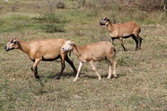 Brown Sheep in Antigua Barbuda royalty free stock photos