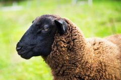 Brown sheep with black head. stock photography