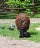 Brown sheep with a black lamb in a farmyard. Brown sheep with a black lamb grazing in a farmyard Stock Photos