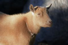 Brown sheep calmly waiting after being shorn. Wearing collar, front of sheep, short hair royalty free stock images