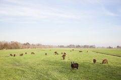 Brown sheep in dutch meadow near utrecht Royalty Free Stock Photo
