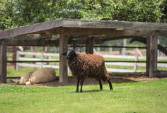 Brown sheep royalty free stock photography