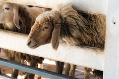Brown sheep on the farm. Sticking out of the stall to eat Stock Photos