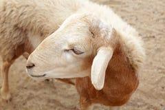 Brown sheep in farm Stock Image