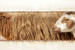 Brown sheep in farm Stock Images