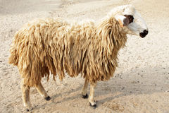 Brown sheep in farm Royalty Free Stock Image