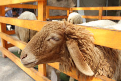Brown sheep in farm Stock Image