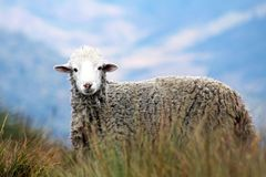 Brown Sheep on Grass in Auto Focus Photography Royalty Free Stock Images