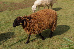 Brown sheep on grass Royalty Free Stock Photos