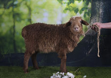 Brown sheep grazing near the forest Stock Photos