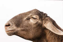 Brown sheep head on white Royalty Free Stock Image