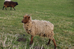 Brown sheep with horns Stock Images