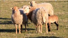 Brown sheep, lambs, meadow, spring stock video footage