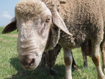 Brown sheep with long ears Stock Image