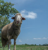 Brown sheep with long ears Royalty Free Stock Images