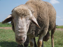 Brown sheep with long ears. Looking at you Royalty Free Stock Image