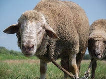 Brown sheep with long ears Stock Photography
