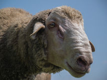 Brown sheep with long ears Stock Photo