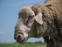 Brown sheep with long ears. Looking at you Royalty Free Stock Images