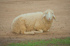 Brown sheep lying on ground and smiling at outdoor farm countryside. Royalty Free Stock Photography