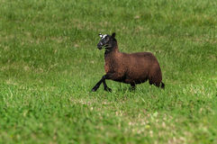 Brown Sheep Ovis aries Runs Right With Grass in Its Mouth Stock Image