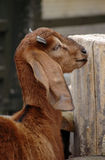 Brown sheep portrait. Long ear brown sheep portrait Royalty Free Stock Photography