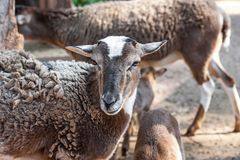 Sheep for the Feast of Sacrifice Muslim holiday kurban. Brown sheep portrait. Farm animals. Sheep for the Feast of Sacrifice Muslim holiday kurban royalty free stock image