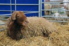 Brown sheep Royalty Free Stock Image