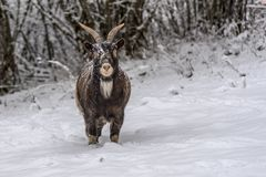 Brown sheep on the snow. Rustic specie of sheep with horns walking on a heavy and freshly fallen snow in the Moselle mountains, Est area of France Royalty Free Stock Photography