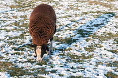 Brown sheep in a snowy meadow Royalty Free Stock Images
