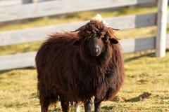 Brown sheep Stock Image