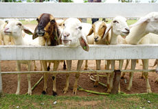 Brown sheep among white sheep Stock Images