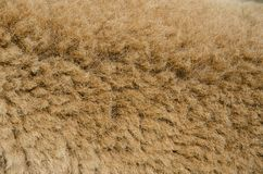Brown sheep wool. Very closeup brown sheep wool and fure in the farm royalty free stock image